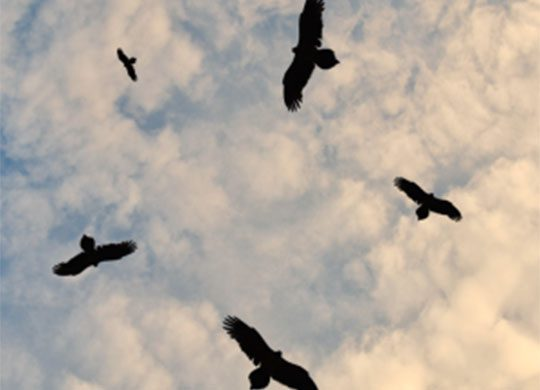 Photo of vultures circling